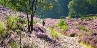 Man die wandelt in de nederlandse natuur in een veluwe gebied