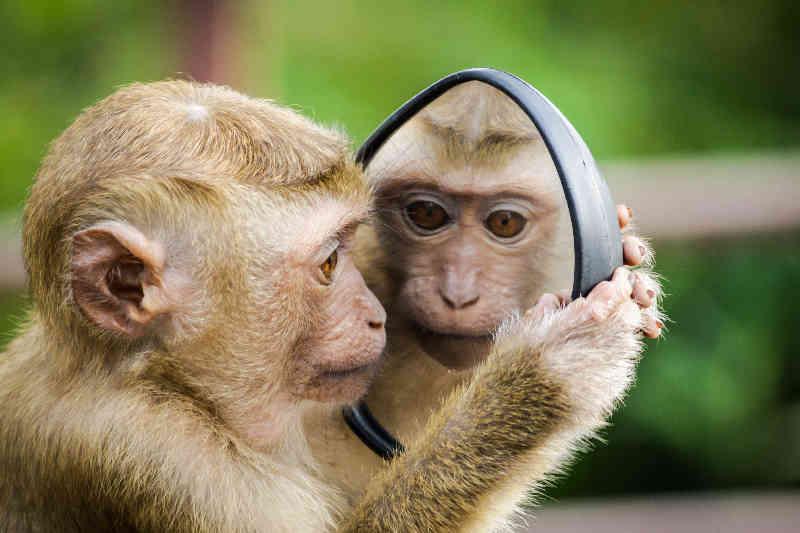 Aapje die in een spiegel kijkt en zichzelf ziet